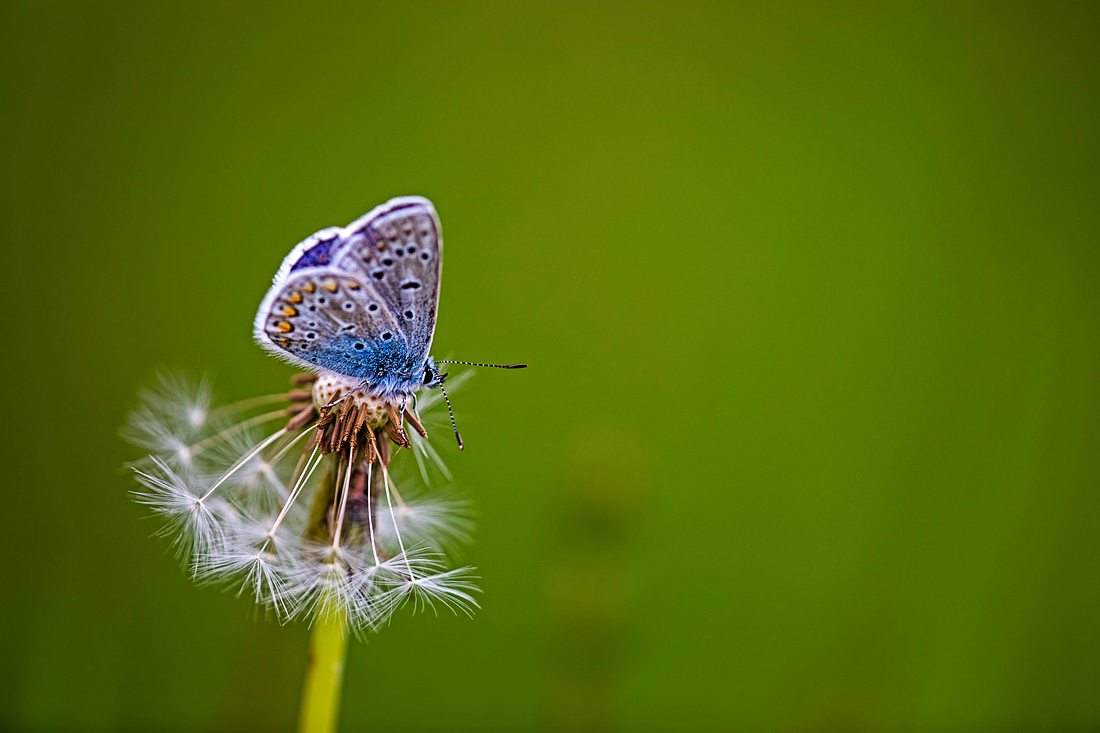 Ein Schmetterling sitzt auf einer Pusteblume.