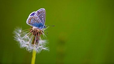 Ein Schmetterling sitzt auf einer Pusteblume.  - Foto: Anneliese Gruenwald-Maerkl / iStock