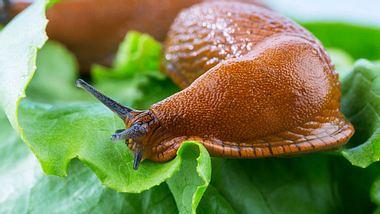 Schnecken im Garten: Das hilft gegen den Befall - Foto: erwo1/ iStock