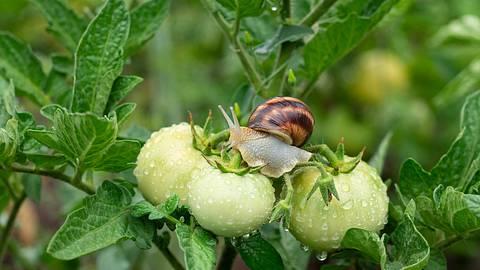 Schnecke auf Tomatenpflanze - Foto: iStock/Dmitriy Sidor