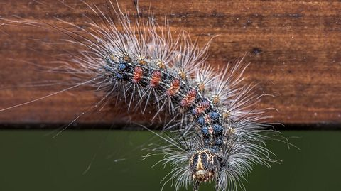 Wie gefährlich sind Schwammspinner? - Foto: Marcin Wojciechowski / iStock