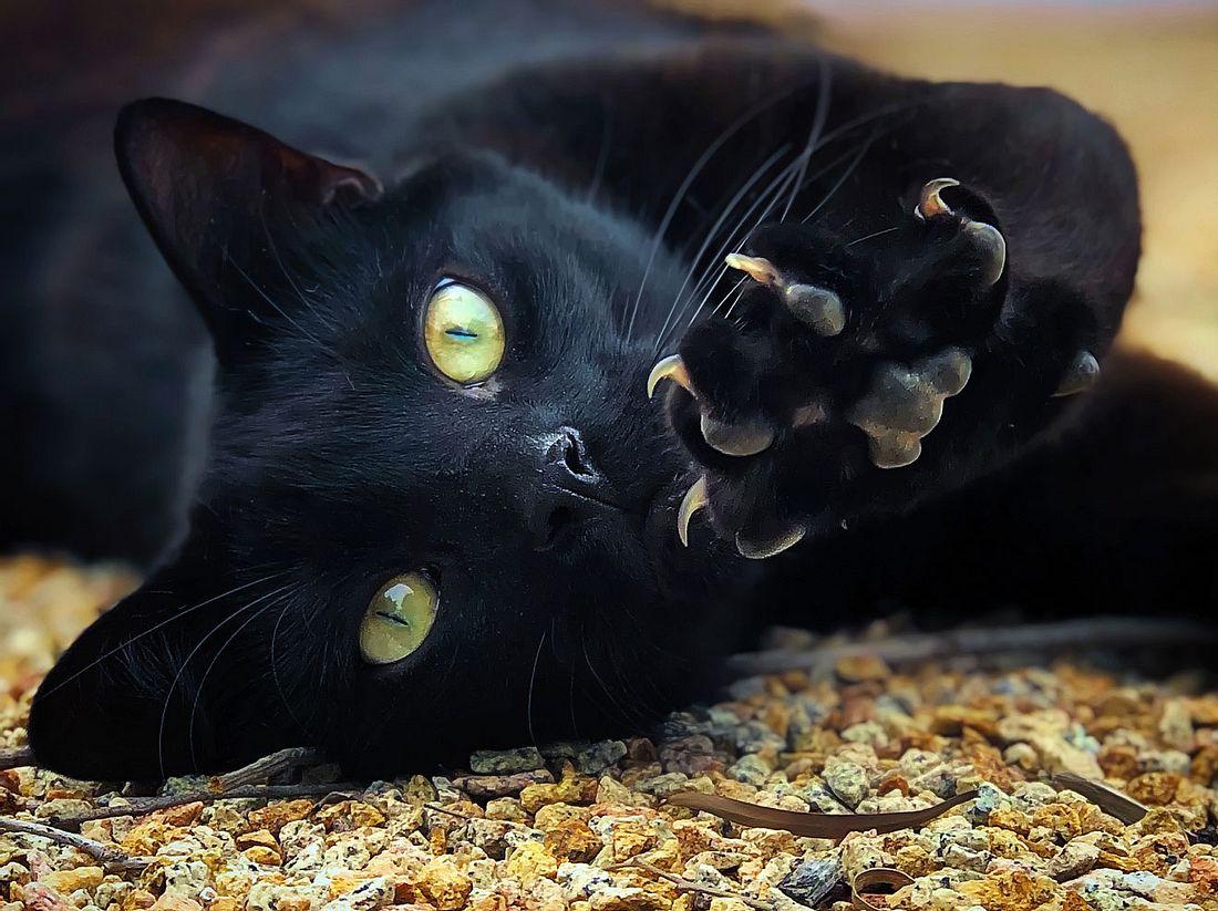 Katzen mit schwarzem Fell brauchen eine Bezugsperson.