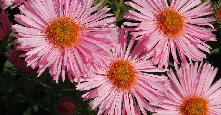 September hat die Geburtsblume Astern.
