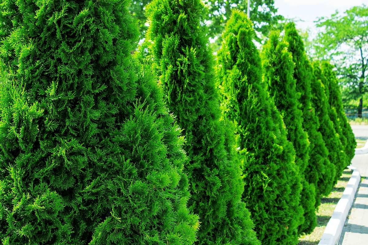 Sichtschutz Pflanzen 5 Einfache Varianten Liebenswert Magazin