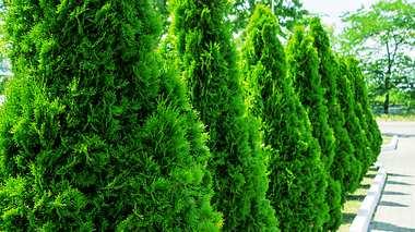 Sichtschutz pflanzen: 5 einfache Varianten