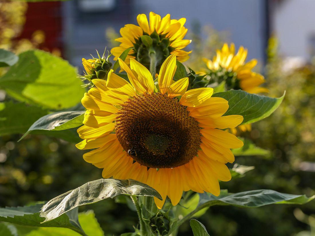 Sonnenblumen im Garten.