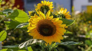 Sonnenblumen richtig säen, vorziehen und pflegen