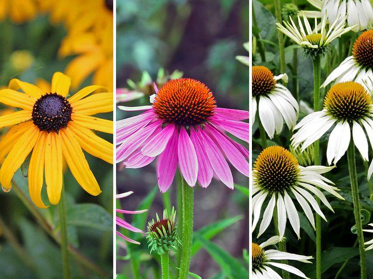 Wie Sie Ihren Sonnenhut richtig anpflanzen, lesen Sie hier.