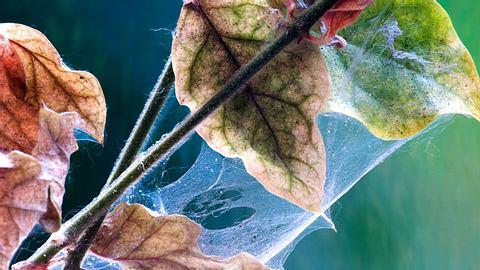 Spinnmilben: 6 Fragen zum Pflanzenschädling  - Foto: BobYue/ iStock