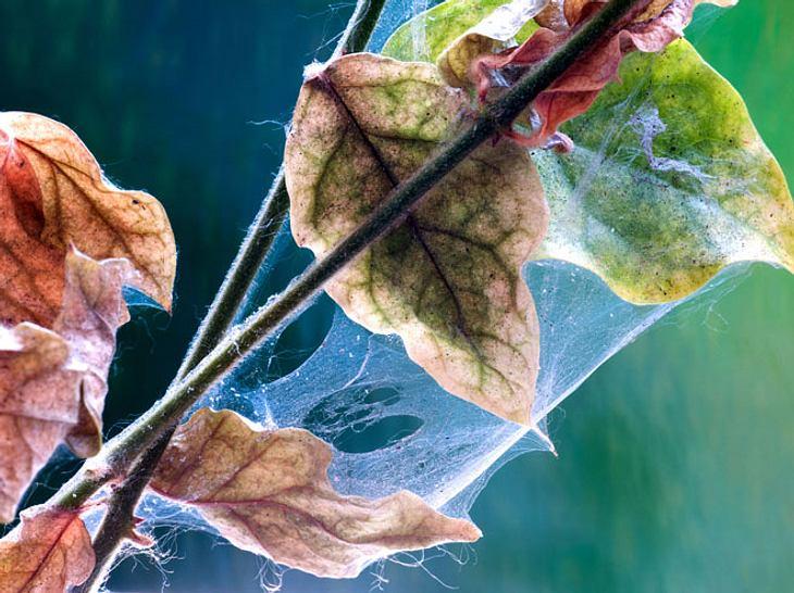 Spinnmilben: 6 Fragen zum Pflanzenschädling
