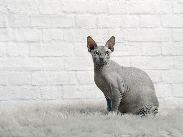 Spynx-Katze.