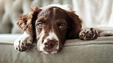 Staupe ist als Hundekrankheit bekannt. - Foto: gradyreese / iStock