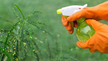 Thripse bekämpfen: Das hilft gegen Gewittertierchen