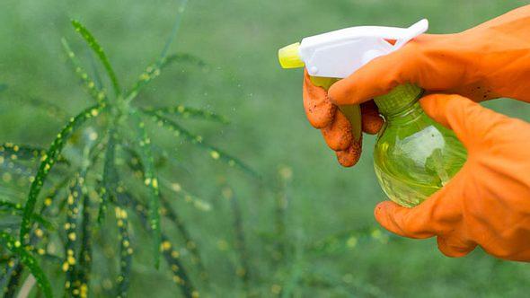 Thripse: Das können Sie gegen den Schädling tun - Foto: JohnDWilliams/ iStock