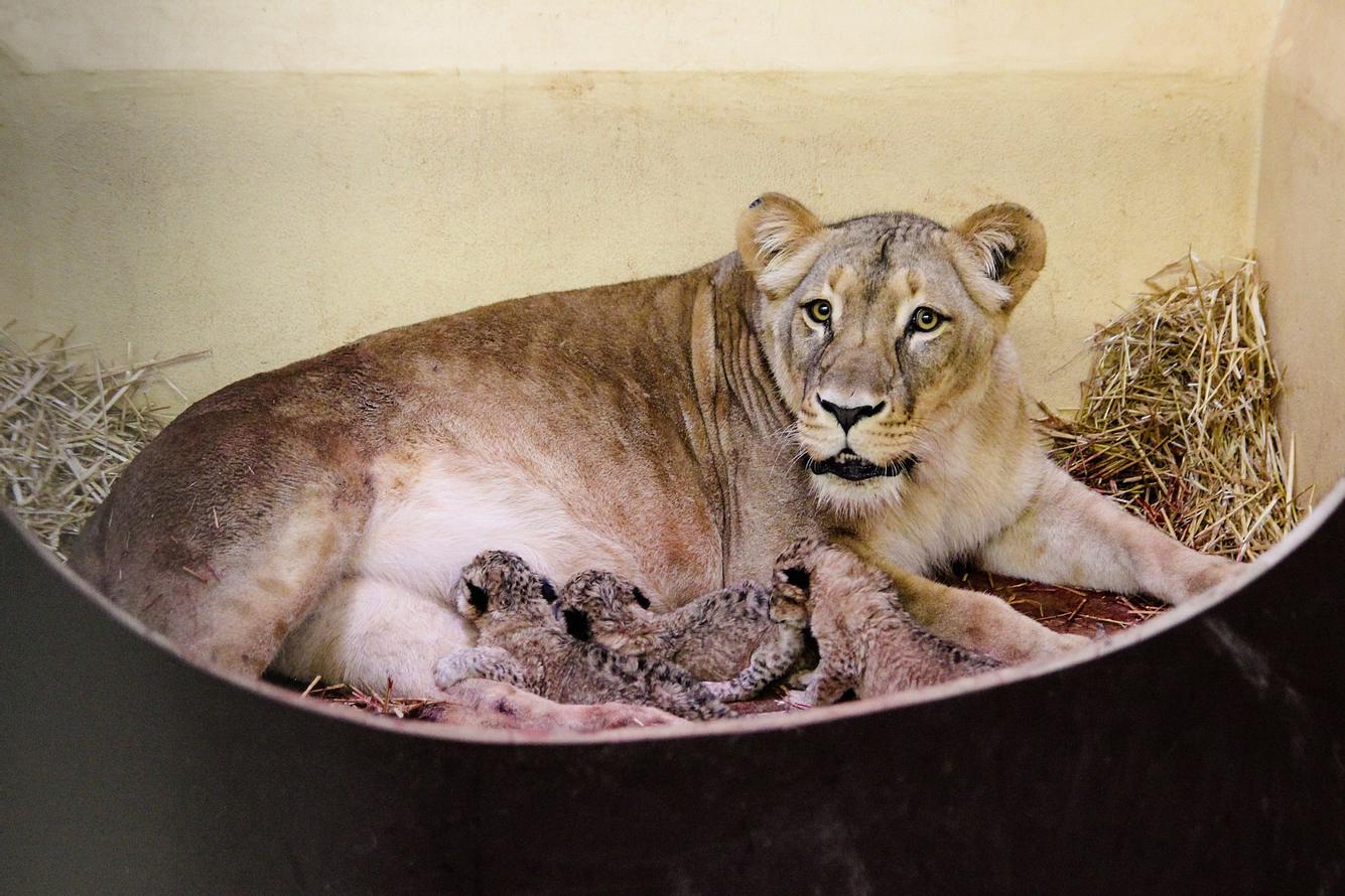 Löwin Bastet im Thüringer Zoopark Erfurt hat drei Babys zur Welt gebracht.