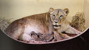 Löwin Bastet im Thüringer Zoopark Erfurt hat drei Babys zur Welt gebracht. - Foto: Thüringer Zoopark Erfurt