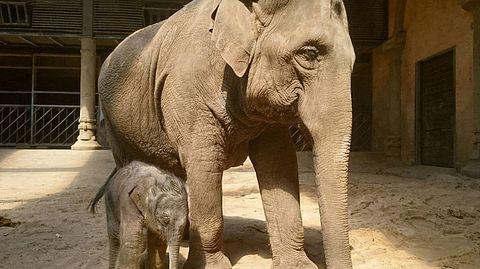 Mama Shila mit ihrem Elefantenbaby Brausepaule. - Foto: © Hagenbeck