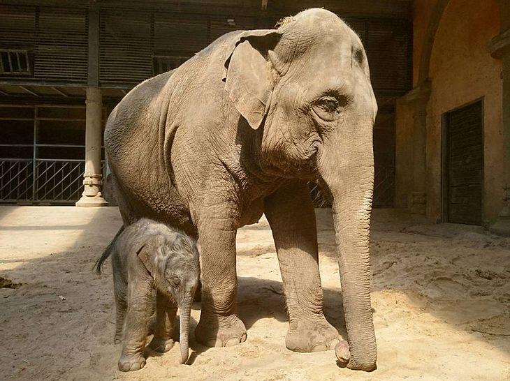 Mama Shila mit ihrem Elefantenbaby Brausepaule.