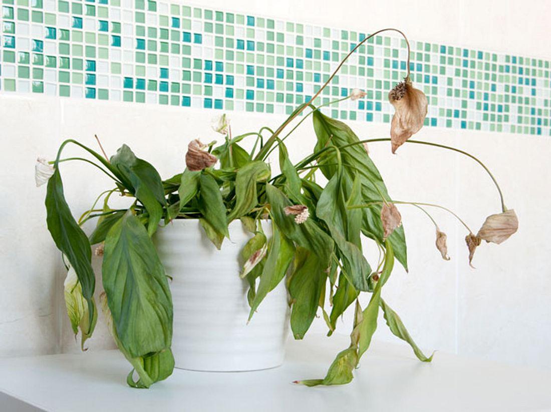 Topfpflanzen mit einem Mix aus Resten retten