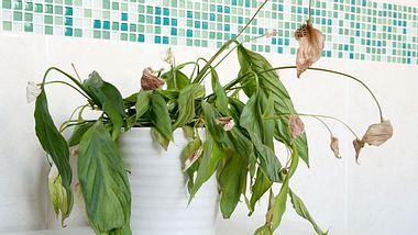 Topfpflanzen mit Resten retten