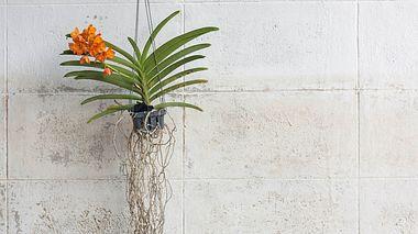 Schwebekünstler: Vanda-Orchidee