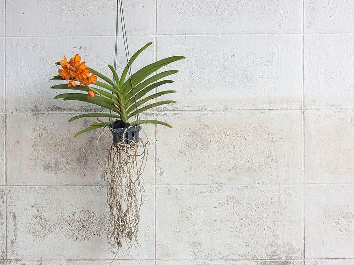 Vanda-Orchidee: Kauf- & Pflegetipps für die Aufsitzerpflanze