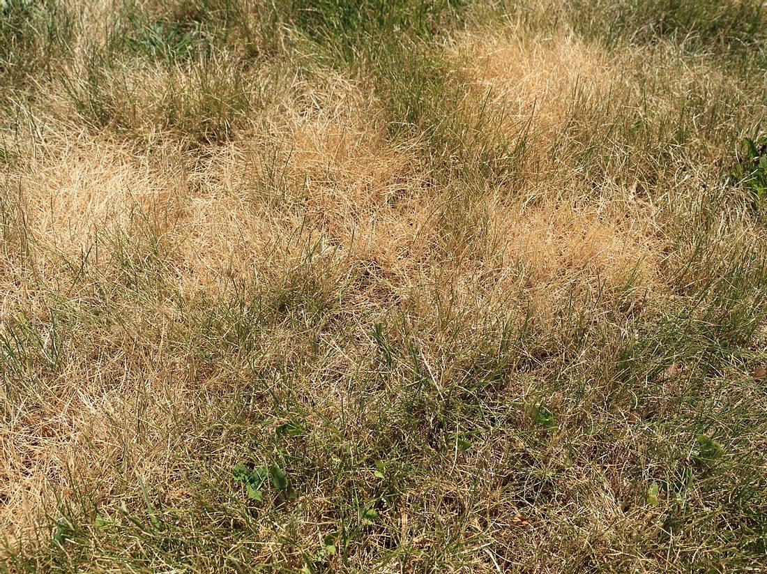 Schon nach wenigen heißen Tagen kann der Rasen schnell verbrennen.
