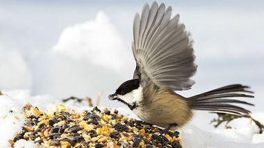 Vogelfutter selber machen: So gehts - Foto: MichelGuenette / iStock