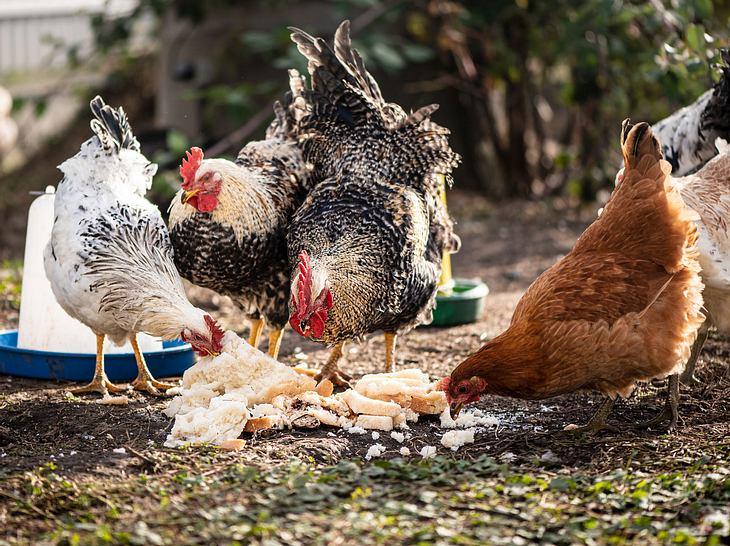 Was fressen Hühner?