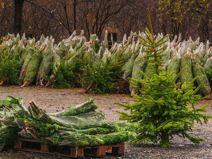 Weihnachtsbäume in diesem Jahr teurer