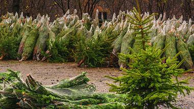 Tannenbaumpreise bleiben stabil