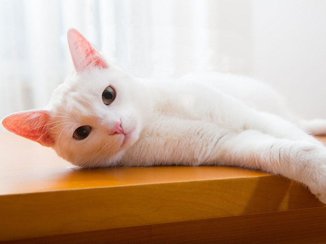 Weiße Katzen gelten als sehr anhänglich.