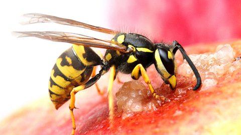 Wie lassen sich Wespen vertreiben?