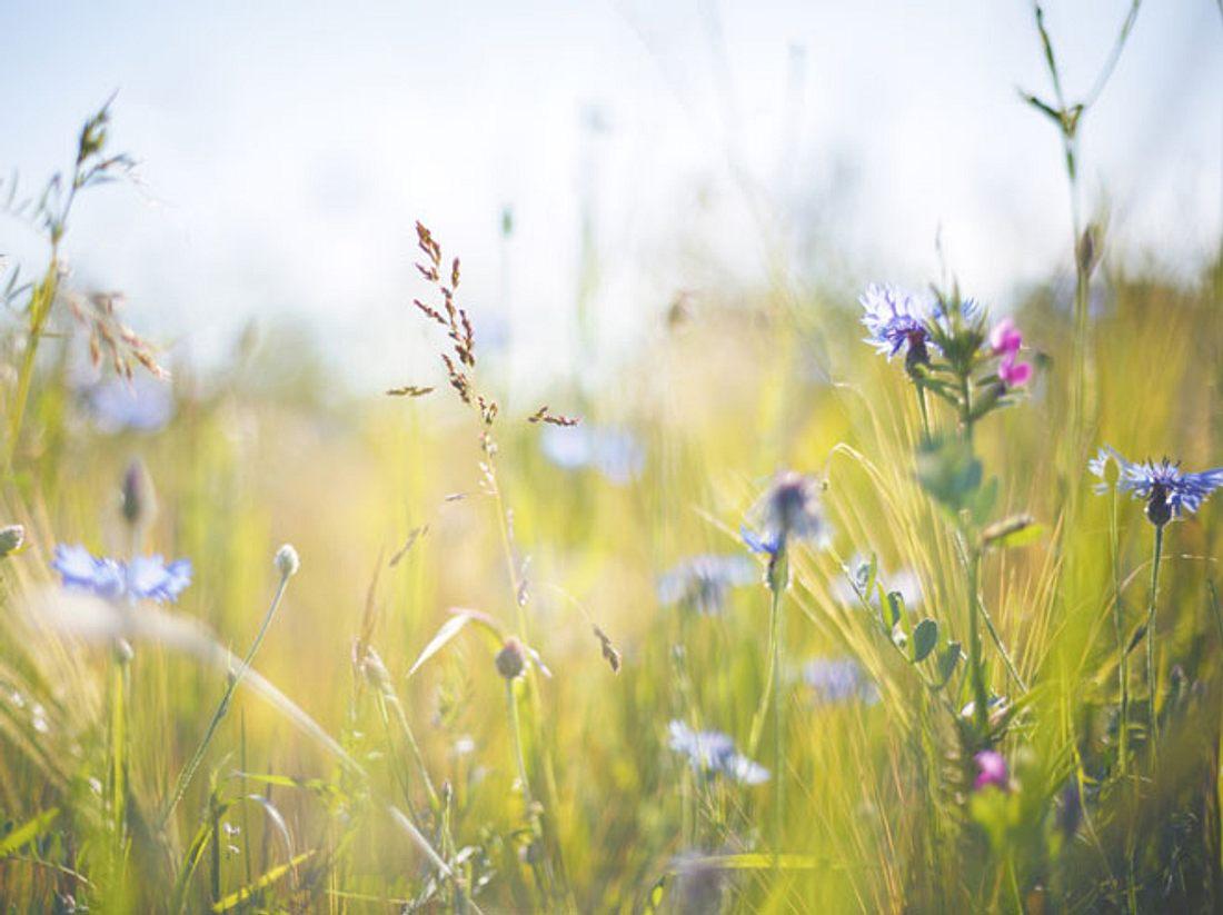 Wiesenkräuter: Heilpflanzen von der Sommerwiese