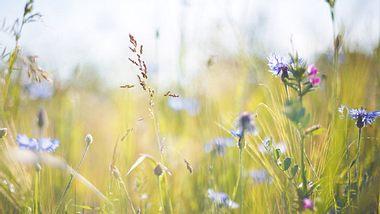 Wiesenkräuter: Heilpflanzen von der Sommerwiese - Foto: Rike_/ iStock