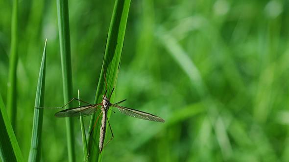 Wiesenschnaken verursachen braune Flecken im Rasen
