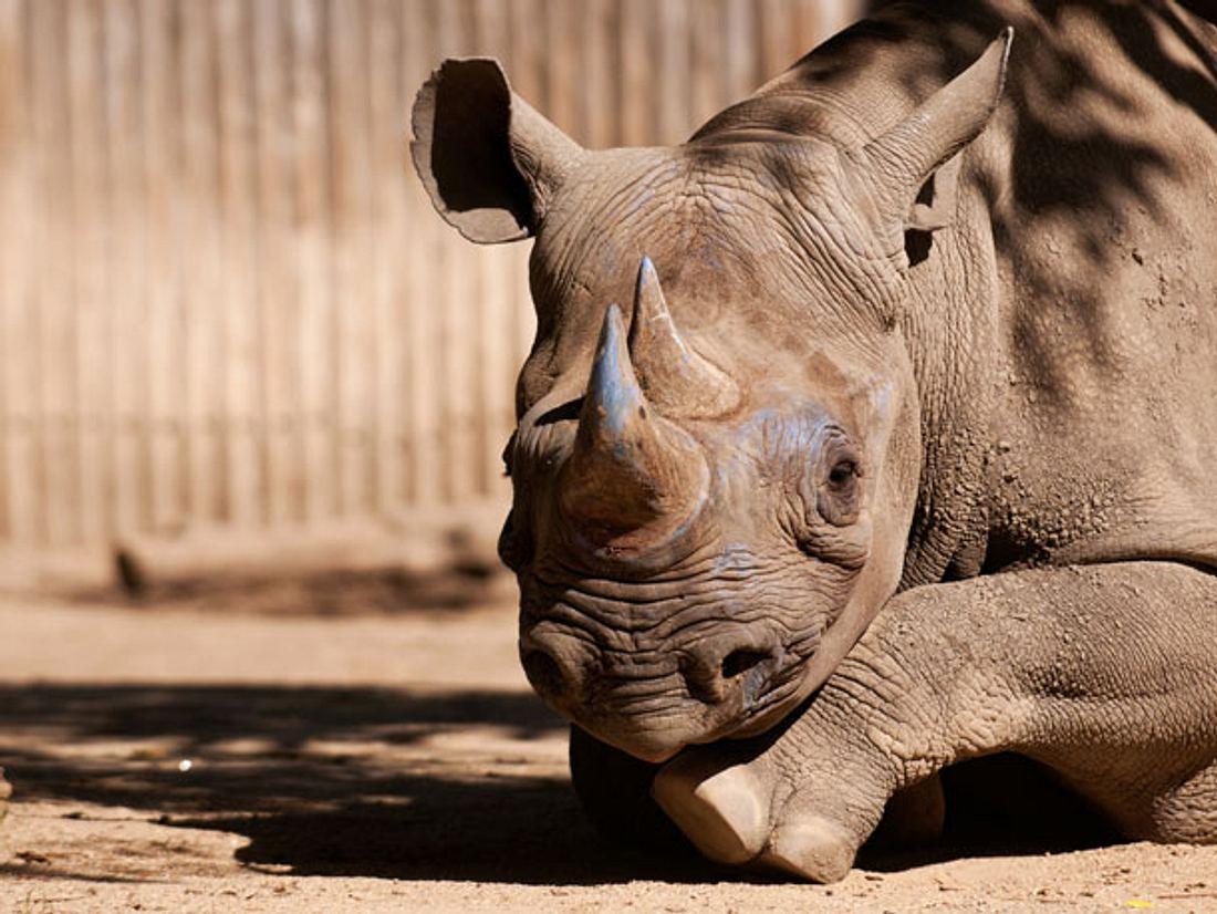Wilderer erschießen Nashorn im Zoo in Frankreich