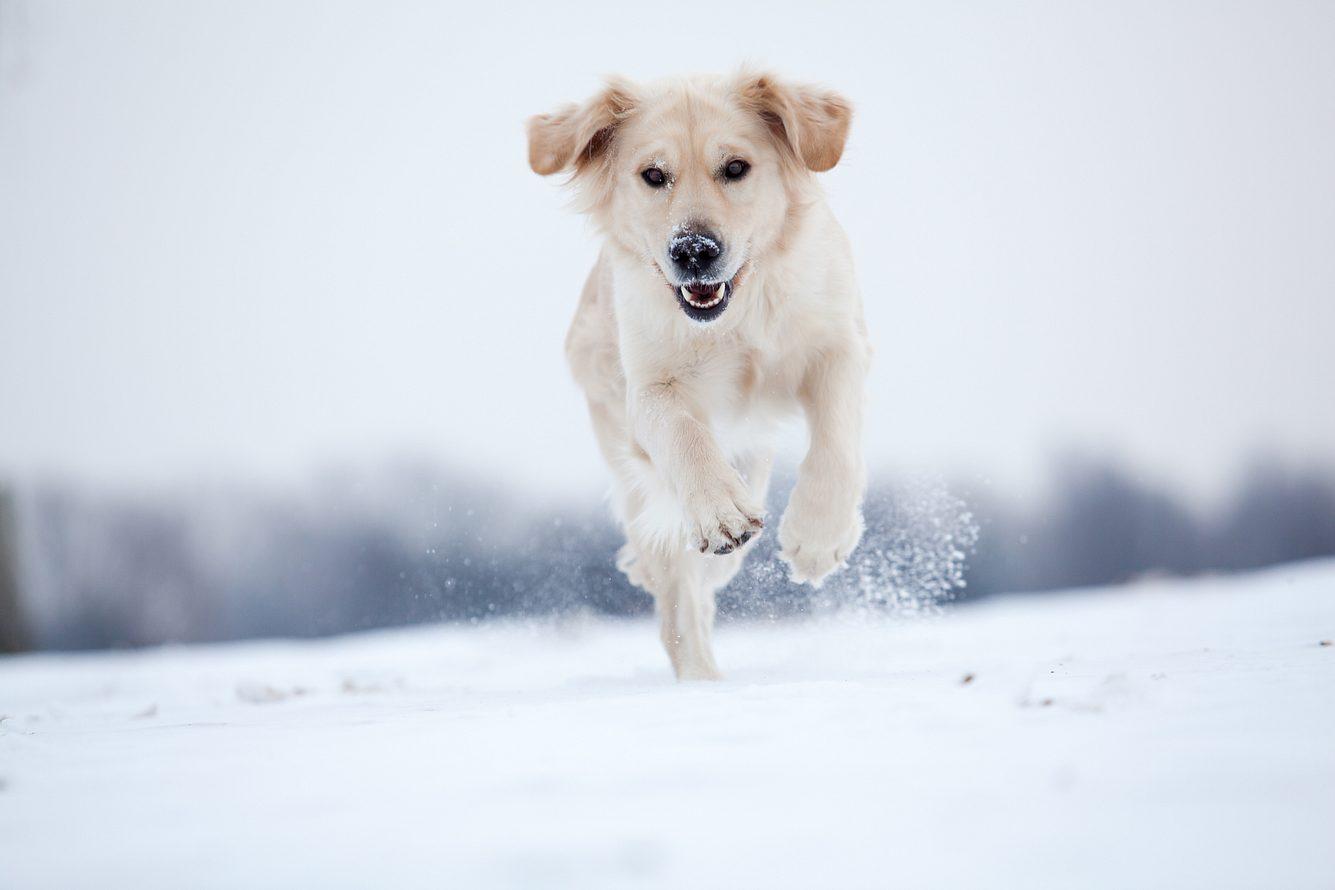 Hund mit hellem Fell im Schnee
