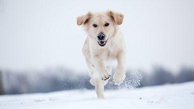 Hund mit hellem Fell im Schnee - Foto: iStock/JoopS