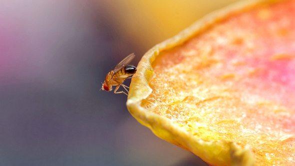 Woher kommen Fruchtfliegen eigentlich? - Foto: Jamesmcq24 / iStock