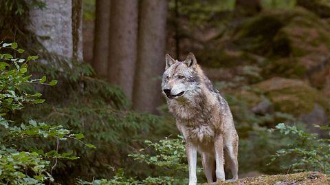Zwei Wölfe zum Abschuss frei