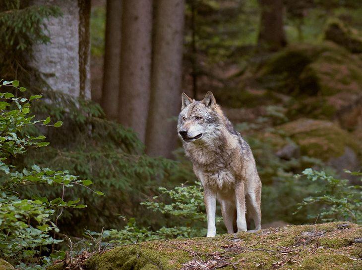 Wölfe sind in Deutschland wieder heimisch