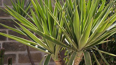 Yucca-Palmen pflegen