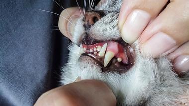Frau schaut sich Zähne und Zahnfleisch einer Katze an.  - Foto: Tanchic / iStock