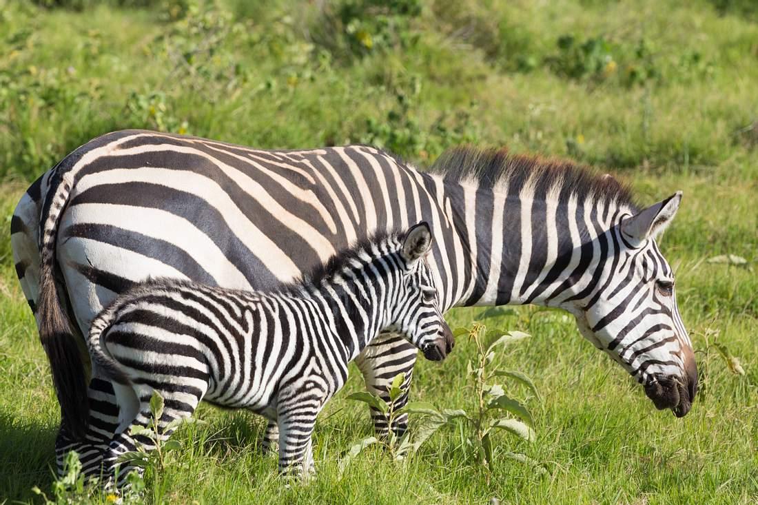 Zebra-Baby und Mutter.