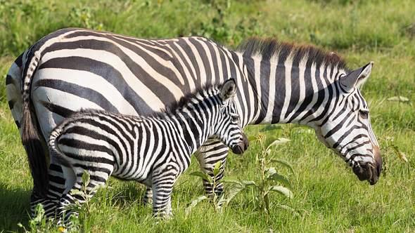 Zebra-Baby und Mutter. - Foto: IMAGO / YAY Images