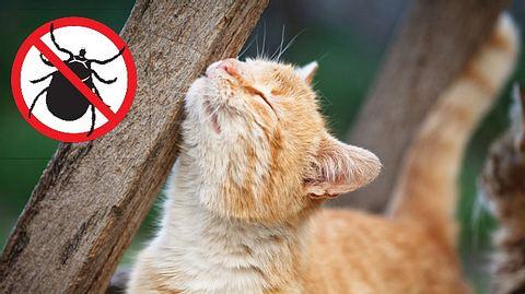 Zeckenmittel: Katzen mit natürlichen Mitteln gegen Zecken schützen - Foto: AleksandarNakic / ananaline / iStock