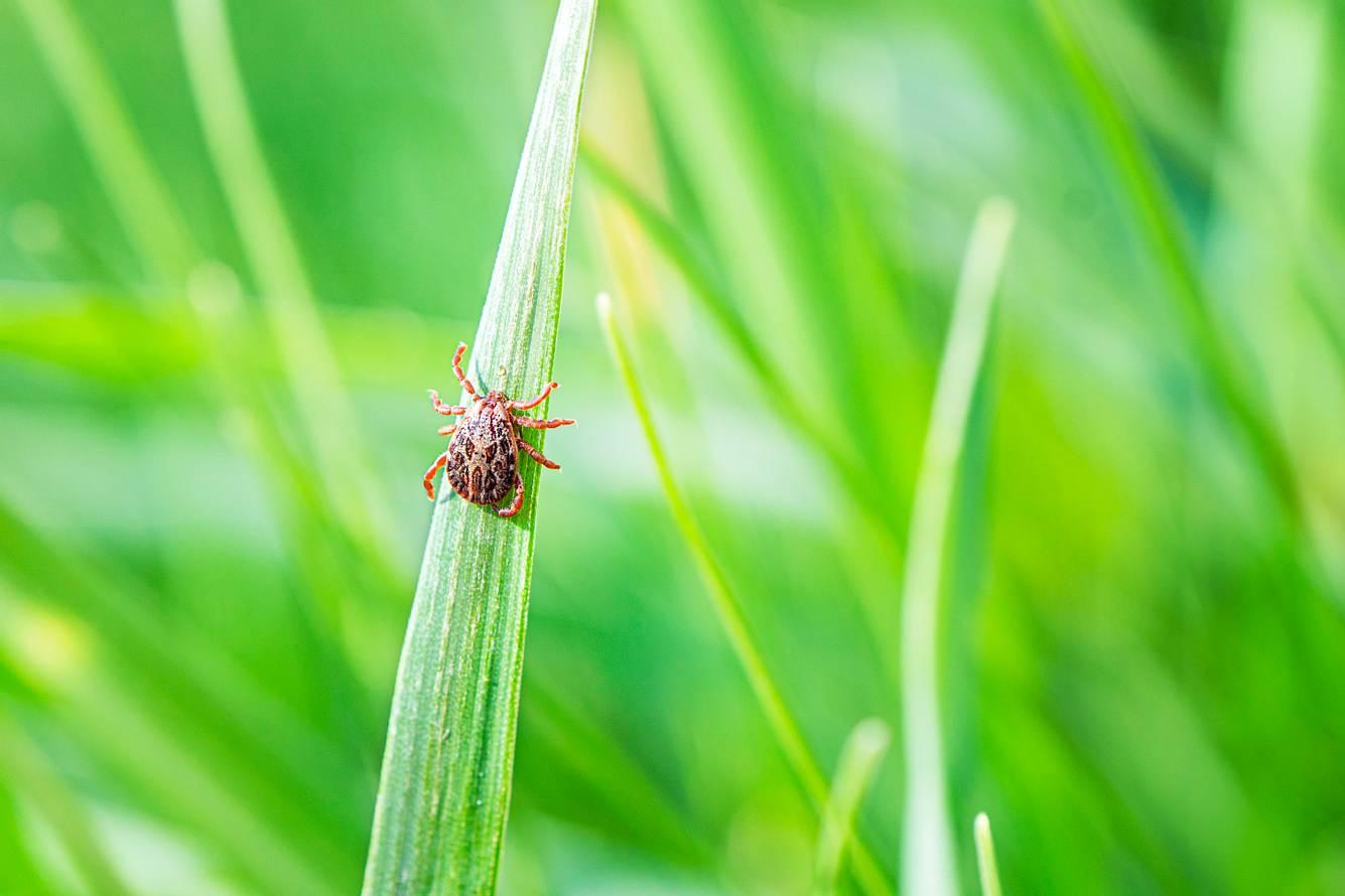 Eine Zecke im hohen Gras.