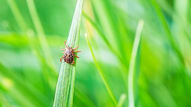 Eine Zecke im hohen Gras. - Foto: iStock / Diy13