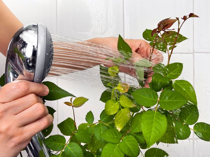 Zimmerpflanzen können von Schädlingen befallen sein.